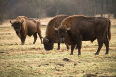 Bisontes foto de stock royalty free