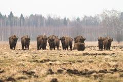Bisontes Imagens de Stock