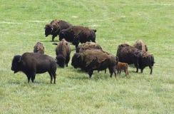 Bisontes Foto de Stock Royalty Free