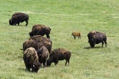 Bisontes Foto de Stock