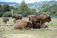 Bisontes Fotos de Stock