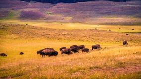 Bisontes de Hayden Valley Imagen de archivo libre de regalías