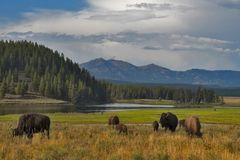 Bisontes em Yellowstone, parque nacional, Wyoming, EUA foto de stock royalty free