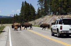 Bisontes en el camino Fotos de archivo