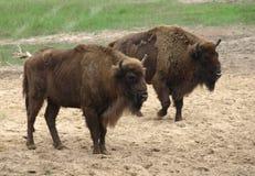 Bisontes europeos imagen de archivo libre de regalías