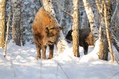 Bisontes europeos del adulto y del bebé en bosque del abedul del invierno Fotos de archivo