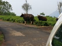 Bisontes na estrada Fotografia de Stock Royalty Free