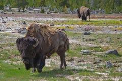 Bisontes no parque EUA de Yellowstone Fotos de Stock Royalty Free