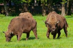 Bisontes poloneses Fotografia de Stock