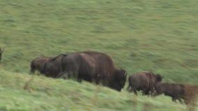 Bisontes running vídeos de arquivo