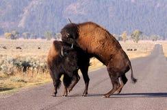 Bisontes salvajes Foto de archivo libre de regalías