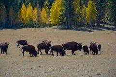 Bisontes salvajes que cruzan el cielo azul del tiempo de verano de los ?rboles de la secoya del camino foto de archivo libre de regalías