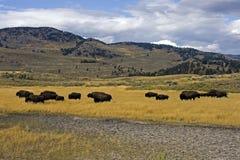 Bisonti alla valle Yellowstone di Lamar Fotografia Stock