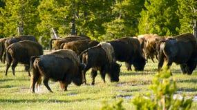 Bisonti di Yellowstone fotografia stock libera da diritti