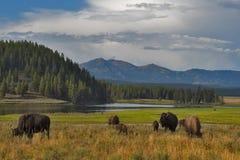 Bisonti a Yellowstone, parco nazionale, Wyoming, U.S.A. fotografia stock libera da diritti