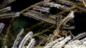 Bispinosus Hydroid di Hyastenus del granchio del decoratore della bolla che porta alcune punte del gamberetto hydroicoral dentro  video d archivio