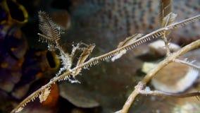 Bispinosus Hydroid di Hyastenus del granchio del decoratore della bolla che porta alcune punte del gamberetto hydroicoral dentro  archivi video