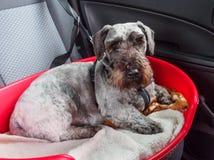 Bisto Ceskyen Terrier Fotografering för Bildbyråer