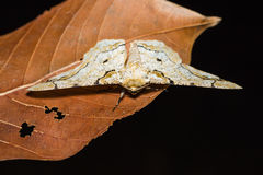 Biston inouei moth Royalty Free Stock Photography