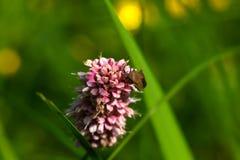 Bistort цветок одичалый Стоковые Фотографии RF