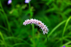 Bistort dziki kwiat Fotografia Stock