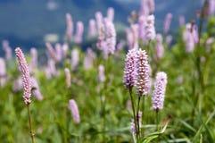Bistorta officinalis, lös blomma för europeisk bistort i blom arkivfoto