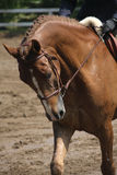 On the bit. Close-up of a horse beeing ridden in a flat class royalty free stock images