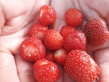 A bit of domestic organic strawberries on the palm royalty free stock image