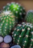 Prickly house cactus Royalty Free Stock Images