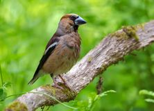 Soggy Male hawfinch sits on a dry aged mossy stick with green background stock photos
