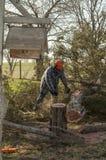 Bitande cederträträd för man med chainsawen Royaltyfri Foto
