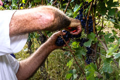 Bitande druvor för bonde med sax Royaltyfri Foto