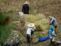 Bitande ris för bonde, Sagada, Luzon, Filippinerna Arkivbilder