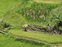 Bitande ris för bonde, Sagada, Luzon, Filippinerna Fotografering för Bildbyråer