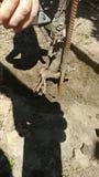 Bitande Rootstock i väg från grund av den Cabernet vinrankan i NapaValley Arkivbild