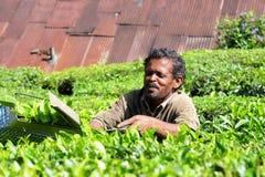 Bitande teblad på Munnar, Kerala, Indien Royaltyfria Foton