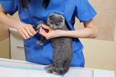 Bitande tånaglar för veterinär till den gulliga lilla kattungen i veterinär- klinik Arkivbild