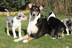 of Collie Smooth with puppies in the garden Royalty Free Stock Photo