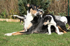 of Collie Smooth with puppies in the garden Royalty Free Stock Photography