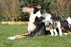 of Collie Smooth with puppies in the garden Stock Image