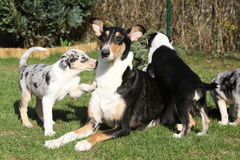 Bitch of Collie Smooth with puppies in the garden Royalty Free Stock Photo