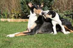 Bitch of Collie Smooth with puppies in the garden Royalty Free Stock Image