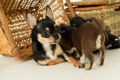 Bitch feeds chihuahua puppies Royalty Free Stock Photography