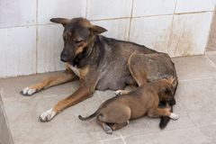Lying down with slightly impatient expression as one of her pups bites her tail,. Large stray lying down with slightly impatient expression as one of her pups stock images