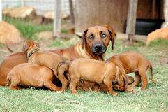 Bitch with puppies. A beautiful Rhodesian Ridgeback bitch and her cute little playing puppies in the backyard outdoors Stock Photos