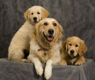 Bitch and puppies in studio. Animals / Wildlife, Golden Retriever Bitch with Puppies, Domestic Pets, Dogs in Studio Royalty Free Stock Image