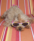 Resting On Chaise. A poodle in striped sunglasses relaxes on a striped beach chaise stock image