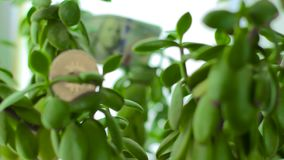 Bitcoin on Crassula Money tree with dollars. Bitcoin on Crassula Money tree with100 dollars. Concept of investment, opportunities and consistency. Banknotes stock video