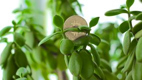 Bitcoin on Crassula Money tree with falling dollars. Bitcoin on Crassula Money tree with falling 100 dollars slow motion. Concept of investment, opportunities stock video