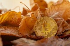 Bitcoin dell'oro con i leafes di autunno nel fondo immagini stock